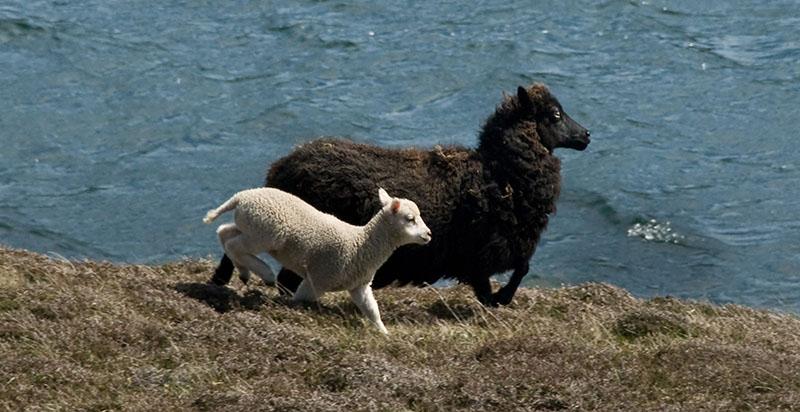 Shetland Seaweed Lamb Artisan Food Trail Approved 1 - The Artisan Food Trail