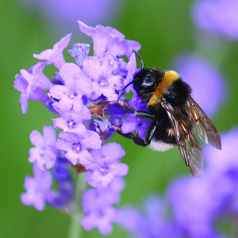 Bee on lavender flower – The Artisan Food Trail