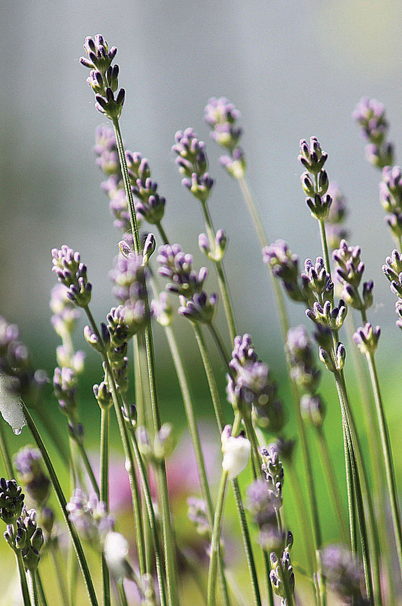 Lavender 2 - The Artisan Food Trail