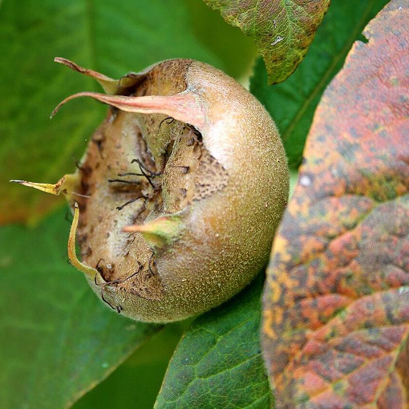 Medlar Preserves – The Artisan Food Trail – Medlar Fruit