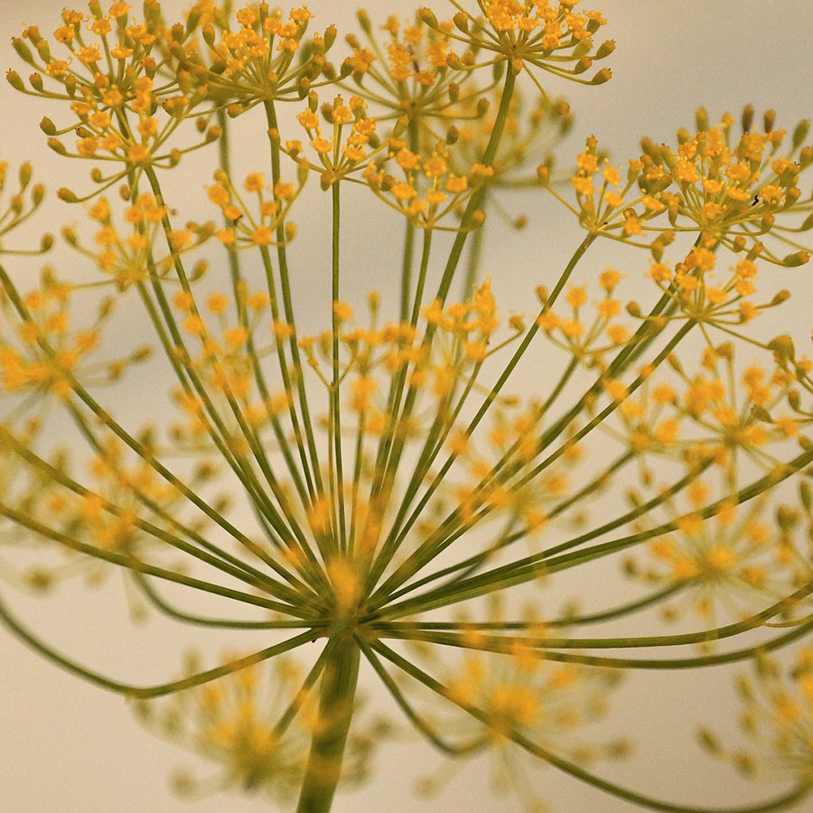 Edible Flowers Dill – The Artisan Food Trail