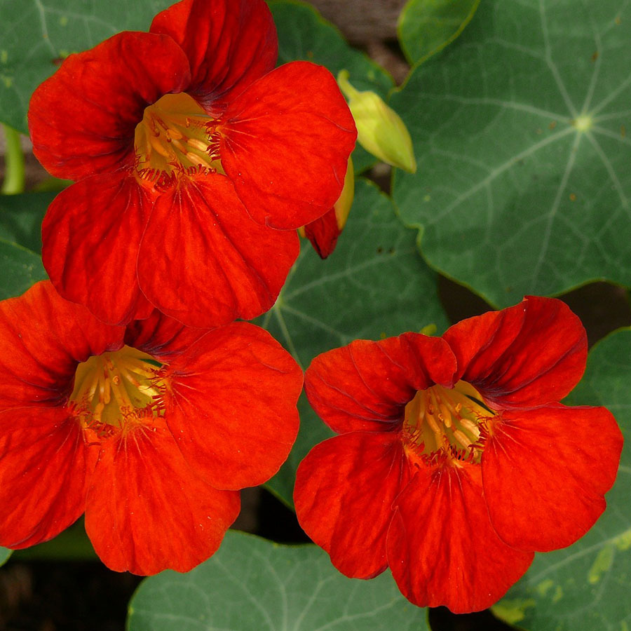 Edible Flowers Nasturtium – The Artisan Food Trail