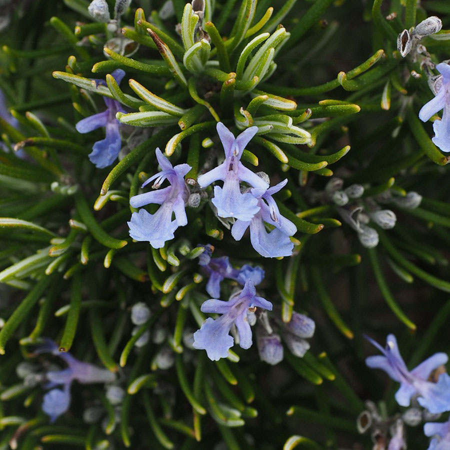 Edible Flowers Rosemary – The Artisan Food Trail