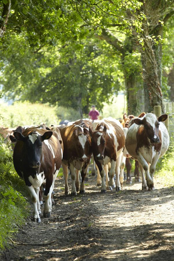Hafod Welsh Organic Cheddar 3 - Artisan Food Trail